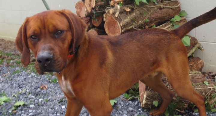 Smokey, an adoptable Redbone Coonhound Mix in Lexington, VA_image-4