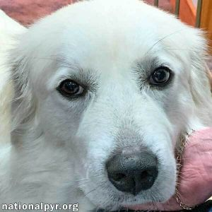 Betsy is a wonderful adult Pyr who is active enough to keep you moving with the adorable pyrsonality