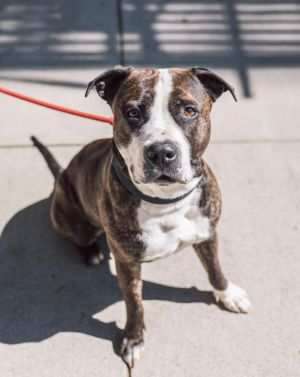 WINONA 2 years old 60lbs Pit Mix Spayed female Higher Active Shes not as sad as she looks In