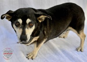 Hi meet Blackie Blackie is a lovable 5 year old Dachshund and Min Pin Mix He enjoys lounging around