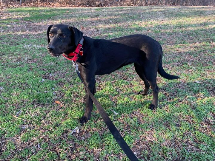 Dahlia, an adoptable Labrador Retriever Mix in Springfield, MO