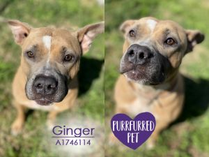 Ginger is enjoying some time in Foster Care If you are interested in meeting this kiddo please e-m