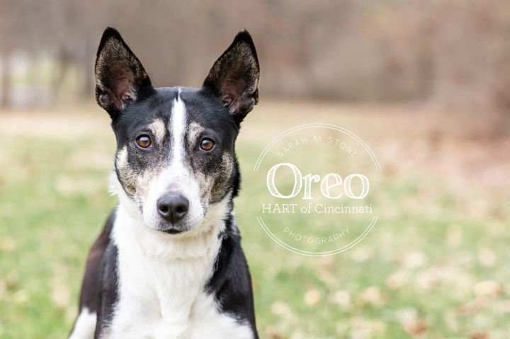 Oreo 5