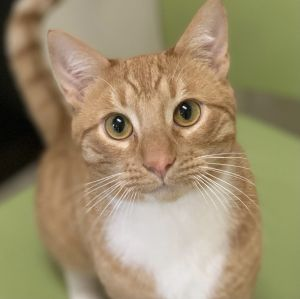 This is Leo He is a 10-11month old male orange tabby and he is mr personality plus He would love