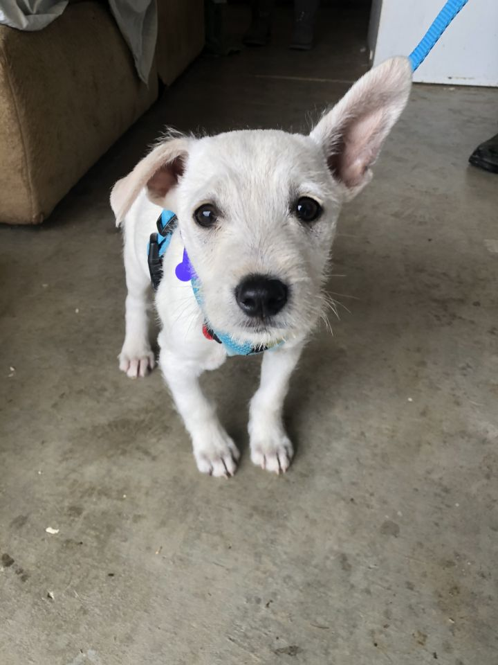 Paris, an adopted Terrier Mix in San Diego, CA