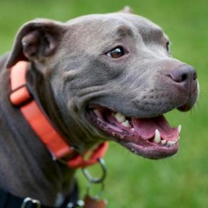 Dolly American Staffordshire Terrier Dog