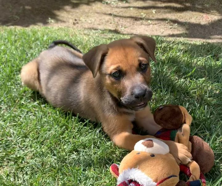Panela, an adopted Terrier & Shepherd Mix in San Diego, CA_image-2