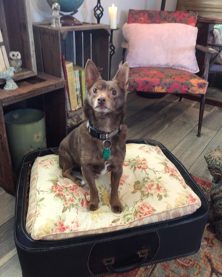 Fred, an adoptable Chihuahua Mix in Oregon, OH