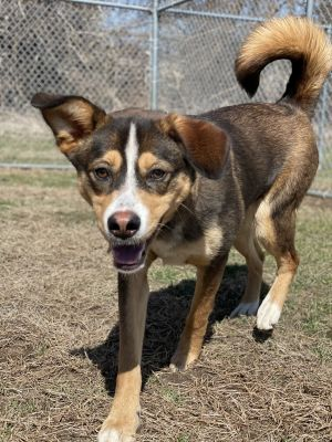 Pebbles is a 2 year old 40 pound spayed female red Husky mix She has high to moderate energy level