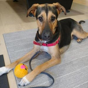 Max - 15 month old Shepherd mix Needs a home with a yard No young kids Max is a 15