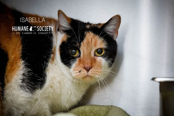 Isabella, an adoptable Domestic Short Hair in Johnstown, PA