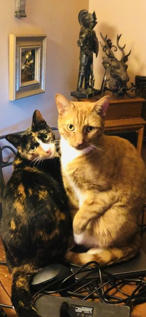 Sunny Funny Duo: Simba Red and Heidi Tortie  NYC Siblings