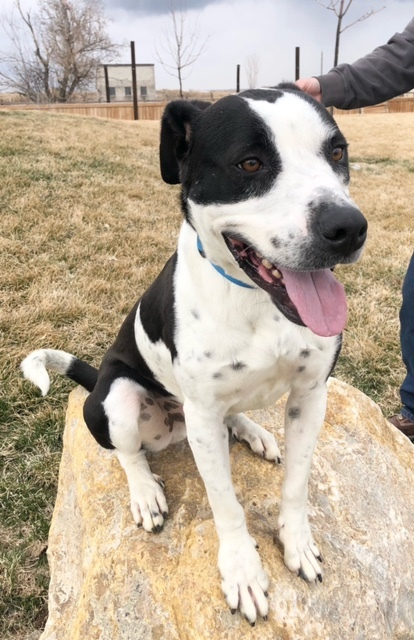 Barry, an adopted Pit Bull Terrier Mix in Eagle, ID