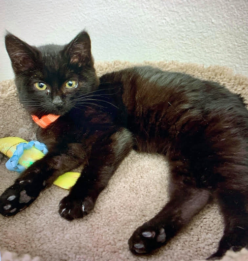 Pepper, an adopted Domestic Short Hair Mix in Palo Cedro, CA_image-1