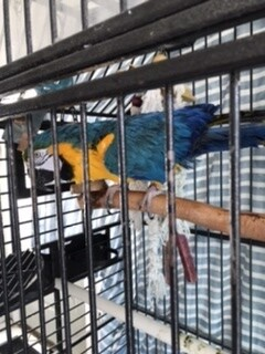 DJ, an adopted Macaw in North Babylon, NY_image-1