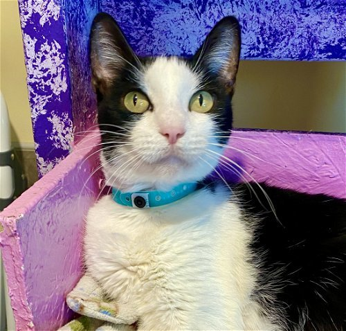Spice, an adoptable Domestic Short Hair in Tucson, AZ_image-1