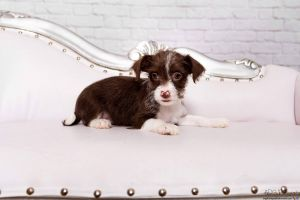 Meet Almond an adorable 4 month old female chihuahua terrier mix who is searchi