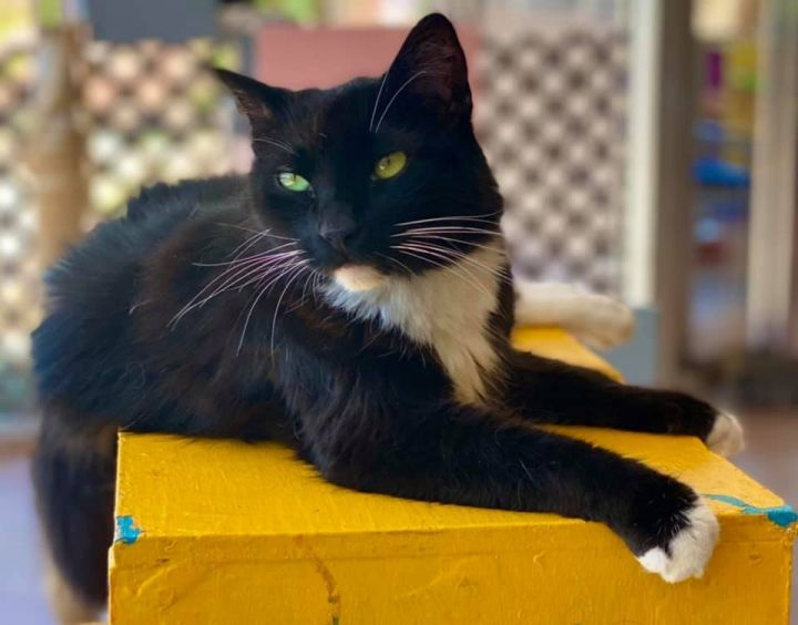 Leroux, an adoptable Domestic Medium Hair in Tucson, AZ_image-1