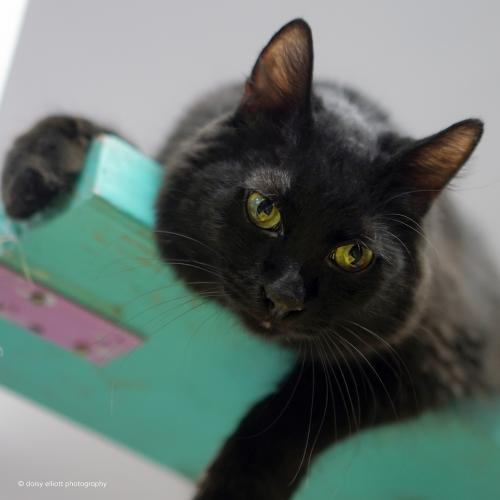 Ren, an adoptable Domestic Medium Hair in Tucson, AZ