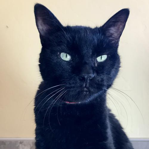 Noir, an adoptable Domestic Short Hair in Tucson, AZ