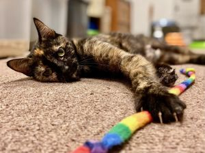 Say Hi to Cassie - our very pretty orange and black tortoishell This little lady is a cuddle bug -
