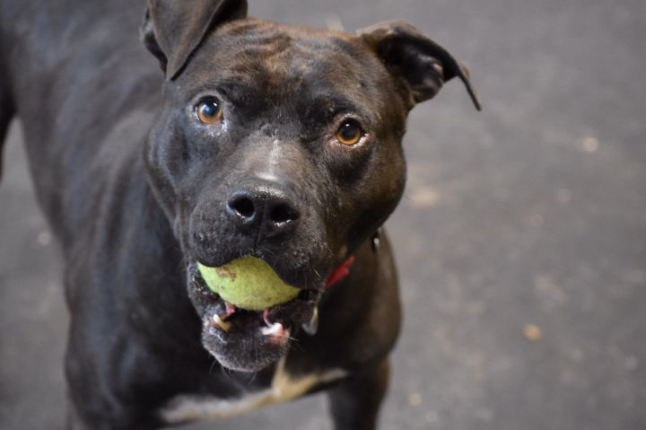 Boeing, an adoptable Pit Bull Terrier Mix in Highland, MD