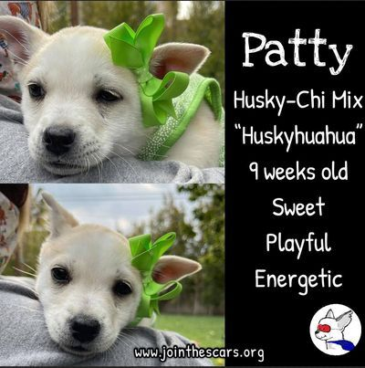 Patty, an adoptable Husky & Chihuahua Mix in Glendora, CA