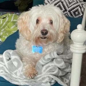 Hello My name is Phoebe and Im a female MaltesePoodle Mix that is around 7 years old My Mom got