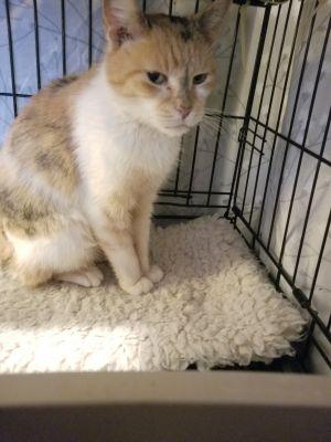 WILMA Calico Cat