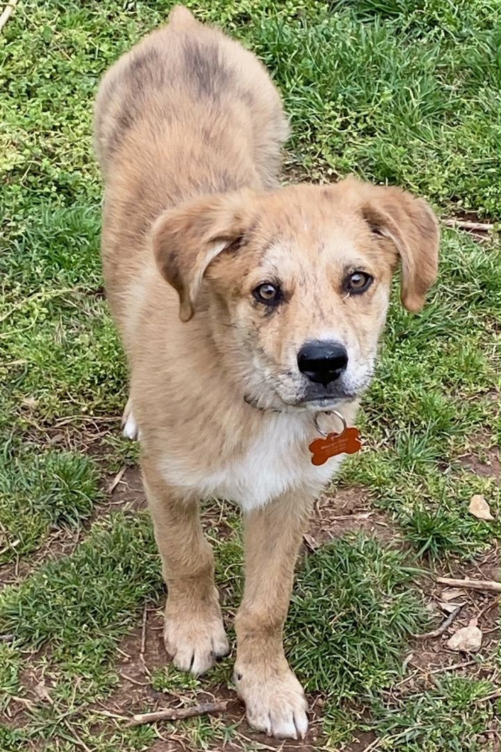Tiger, an adoptable Catahoula Leopard Dog Mix in Springfield, MO