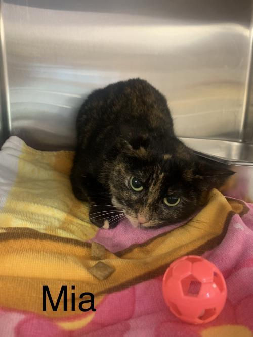 Mia, an adoptable Domestic Short Hair Mix in Bridgewater, NJ