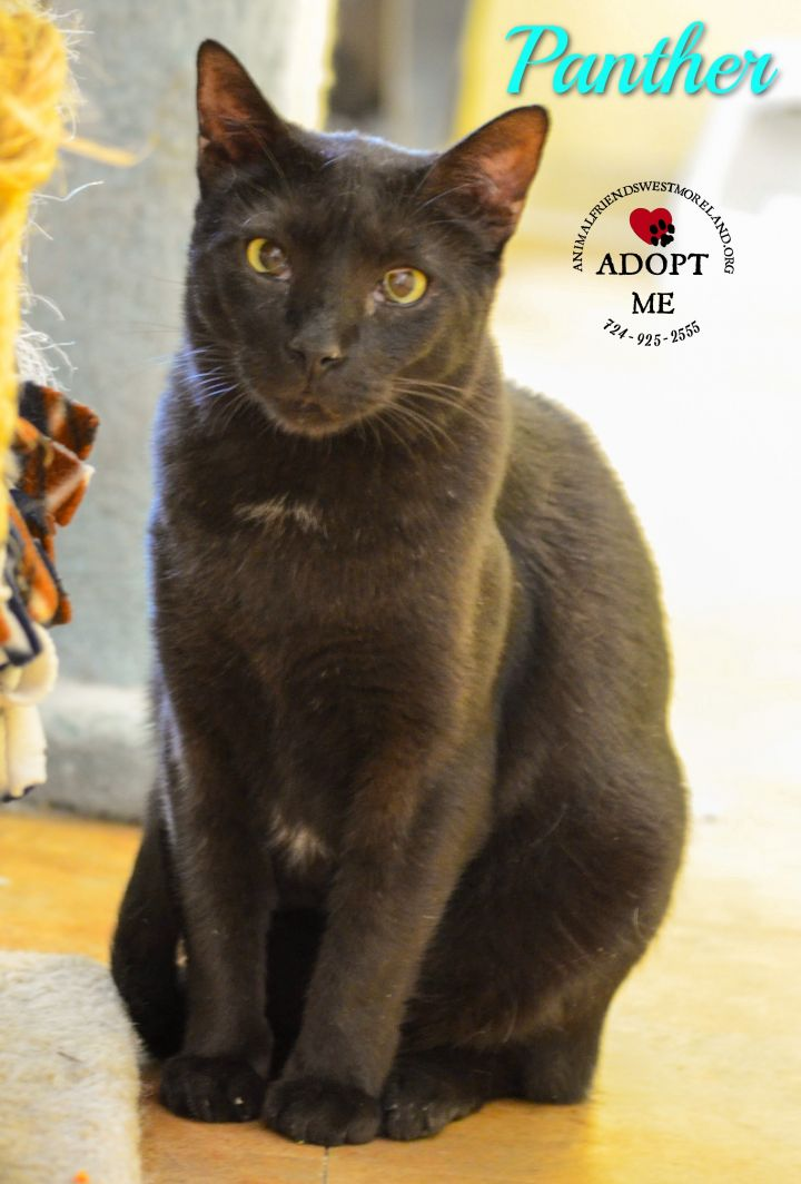 Panther, an adoptable Domestic Short Hair in Youngwood, PA