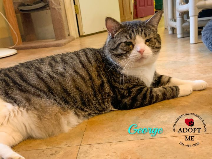 George, an adopted Domestic Short Hair in Youngwood, PA