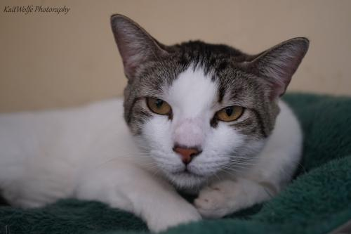 Balderdash, an adoptable Domestic Short Hair in Tucson, AZ