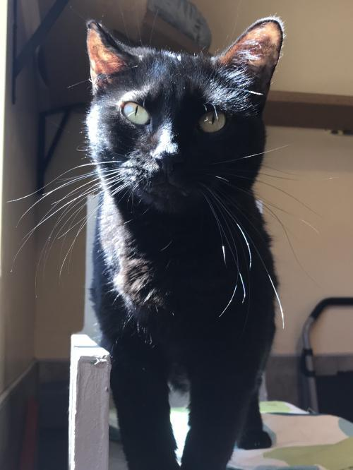 Belvedere, an adoptable Domestic Short Hair in Tucson, AZ