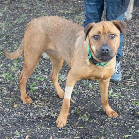 CHAUNCY, an adoptable Mastiff & Pit Bull Terrier Mix in Point Richmond, CA
