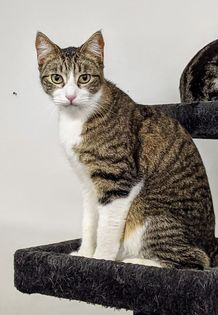 Beavis, an adopted Domestic Short Hair & Tabby Mix in Kentwood, MI