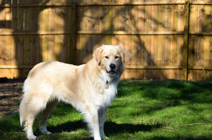 Tofu, an adoptable Great Pyrenees Mix in Minneapolis, MN