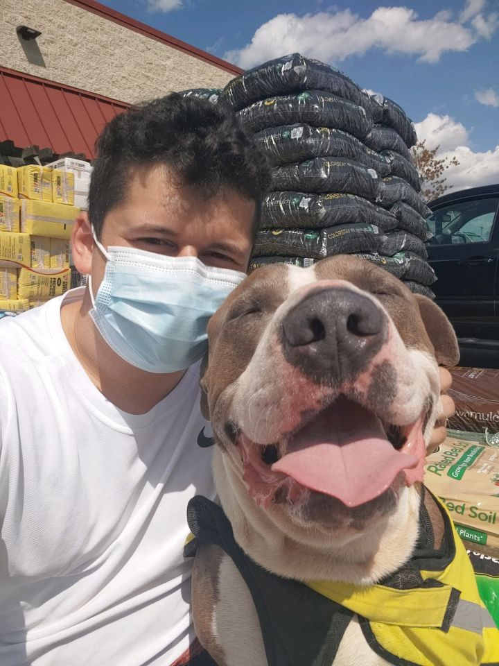 Niko NYC Smiling 70lb Staffie 3