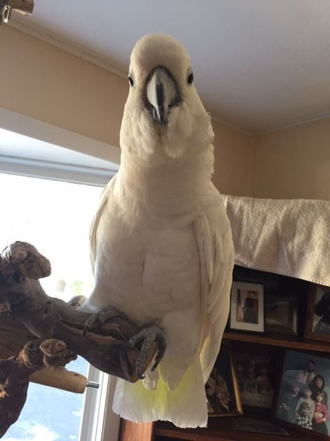 RC, an adopted Cockatoo in North Babylon, NY_image-2