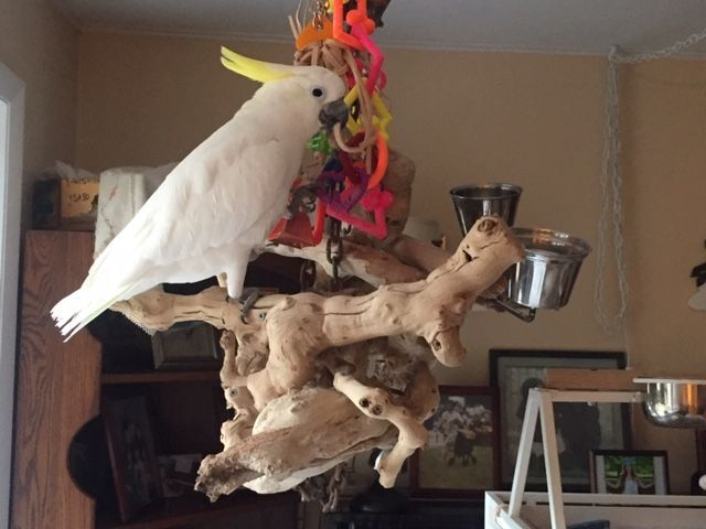 RC, an adopted Cockatoo in North Babylon, NY_image-3
