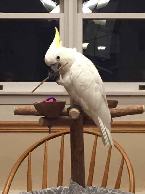 RC, an adopted Cockatoo in North Babylon, NY_image-6