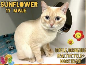 Sunflower arrived to the city shelter and was found as stray Yes this beautiful