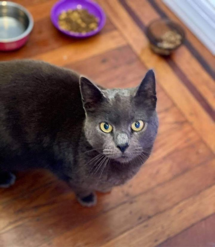 Babette, an adoptable Domestic Short Hair in Warminster, PA