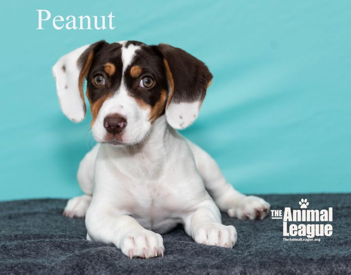 Peanut, an adoptable Greater Swiss Mountain Dog & English Foxhound Mix in Clermont, FL