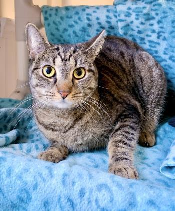 Linny, an adoptable Domestic Short Hair in Bloomsburg, PA