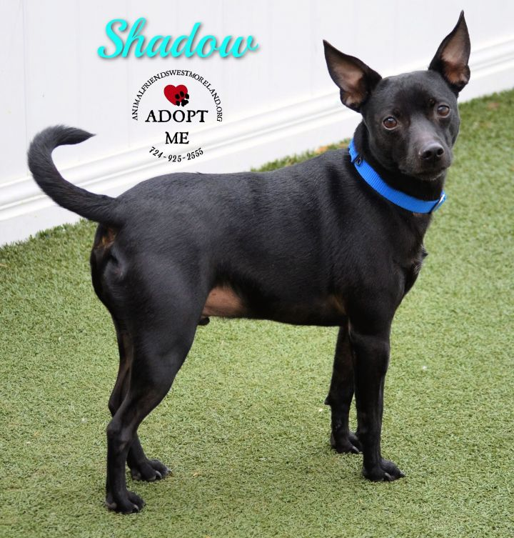 Shadow, an adopted Miniature Pinscher Mix in Youngwood, PA
