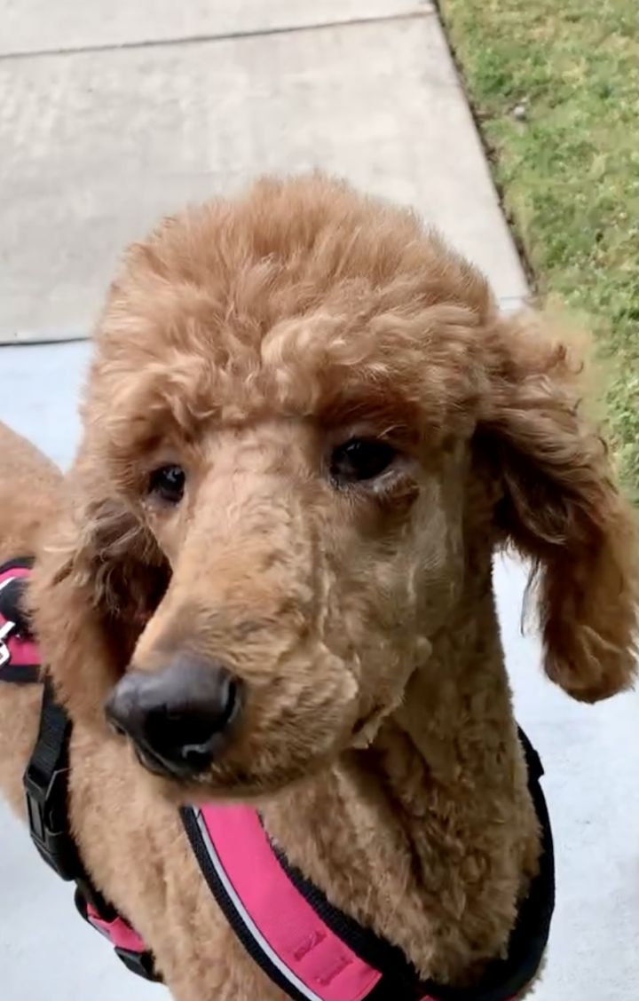 Joanna, an adoptable Standard Poodle in Valley Village, CA_image-1