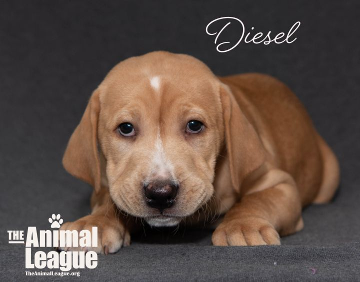 Diesel, an adopted Labrador Retriever Mix in Clermont, FL