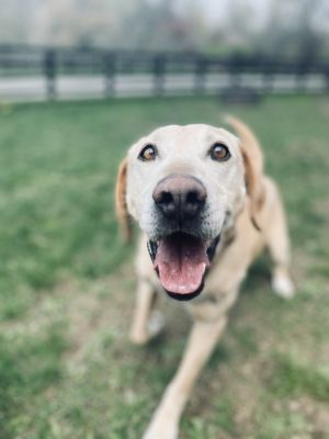 Wise old soul inside a yellow lab body heres Brady He is a wonderful gentle giant that just li